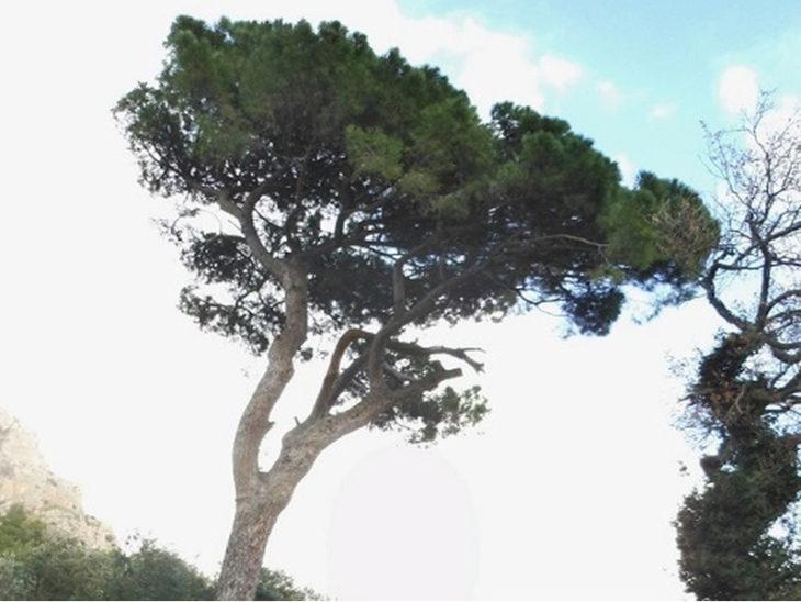 Il Pino Sentinella della Statale